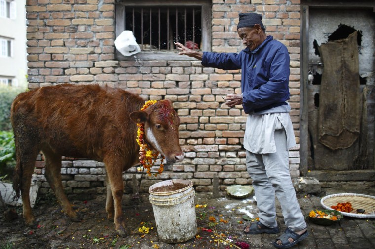 A devotee offers prayers to a cow during a religious ceremony in Kathmandu November 3, 2013. Hindus all over Nepal are celebrating the Tihar festival also called Diwali during which they worship cows, which are considered a maternal figure, and other animals. Also known as the festival of lights, devotees also worship the goddess of wealth Laxmi by illuminating and decorating their homes using garlands, oil lamps, candles and colourful light bulbs. (Navesh Chitrakar/Reuters)
