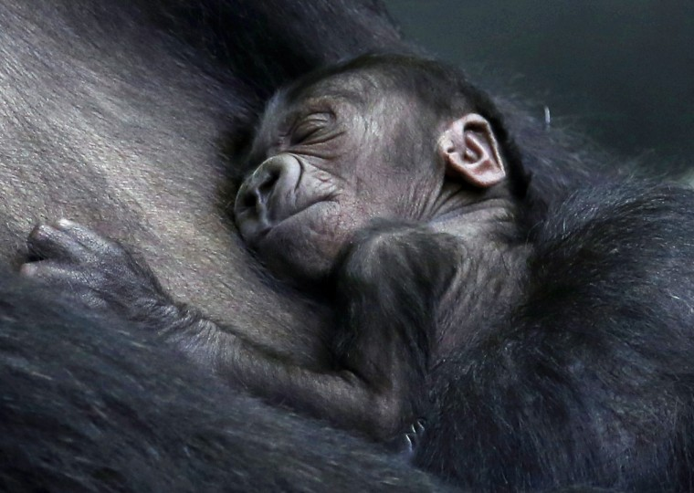 A two-day-old female western lowland baby gorilla sleeps in the arms of her mother Koola at the Brookfield Zoo in Brookfield, Illinois. (Jim Young/Reuters)
