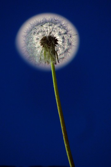 A dandelion puff with a nearly-full moon aligned as a backdrop at twilight for springtime greenery in the Baltimore area on April 23, 2013. (Karl Merton Ferron/Baltimore Sun)