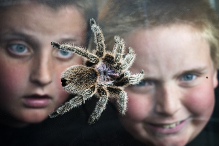 On June 3, 2013 Wyatt Burrows (right), a 10-year old from Abingdon, and his brother Raymond, 12, watch Wyatt's Chilean rose-hair tarantula, Fifi,as it crawls around the tank he keeps in his room. (Christopher T. Assaf/Baltimore Sun)