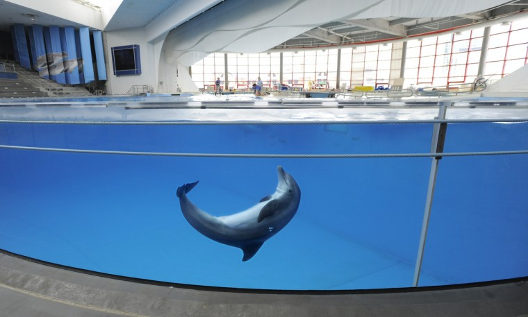 On August 13, 2013, a dolphin plays in the tank before a training session in the Baltimore National Aquarium located at the Inner Harbor. (Lloyd Fox/Baltimore Sun)