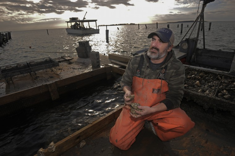 On November 21, 2013, Timothy Devine, of Easton, owner of Barren Island Oysters examines the oysters that he started growing in June. (Kim Hairston/Baltimore Sun)