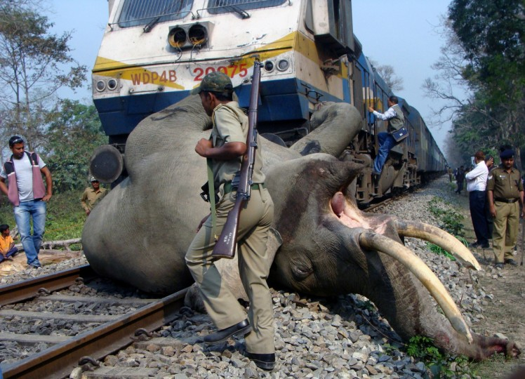 An Indian forestry worker walks past the body of a tusker elephant after it was struck by a train at the Buxa Tiger Reserve, some 12 kms from Alipurduar on March 5, 2013. The adult tusker was killed by the speeding Guwahati-bound Somporkkranti Express inside the Buxa Tiger Reserve in West Bengal. (Getty Images)