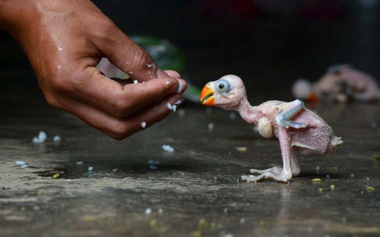 An Indian parrot hatchling is fed by hand in Dimapur on July 24, 2013, after being caught in a forest by a local hunter and offered for sale in the north-eastern Indian state of Nagaland. Wildlife of all types is frequently hunted either for consumption or for sale to residents. Despite a ban since 1990-91 on trade in all India bird species, hundreds of parrots are collected and traded annually in India. They are taken from the wild and smuggled within India and to other countries. The bulk of the trade is in three to four week old chicks. (Getty Images)