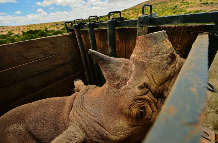 A captured wild male black rhino named Sero at Lewa Wildlife looks out from its crate at Lewa conservancy on August 26, 2013. Eleven of Lewa's total 73 endangered black rhinos are being relocated to neighboring Borana conservancy to afford them more space. Borana currently has no rhino population and is hoping to help increase their numbers. The horn of each relocated rhino is cut and a tracking device is fitted to monitor its movements and to help combat poaching. Lewa has suffered severe poaching in the past. Illegally poached rhino horn is sold for large sums as an ingredient in some traditional Chinese medicine. (Carl de Souza/Getty Images)