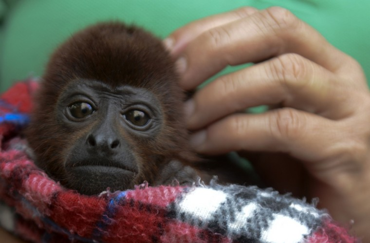 A volunteer carries a baby red howler monkey (Alouatta seniculus), during its recovery at the Santa fe zoo, in Medellin, Antioquia department, Colombia. Eight monkeys who had been under the care of the Santa Fe zoo as part of a wildlife conservation program after they were are torn away from their families in the forests and sold by traffickers to travelers within the country, were released into the wild. The red howler monkeys are an endangered species, which makes them attractive to wildlife traders. (Raul Arboleda/Getty Images)