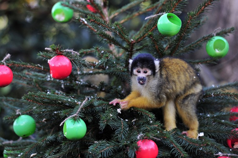 A squirrel monkey eats from christmas tree baubles filled with silkworms and crickets during a photocall at London Zoo in central London. (Carl Court/Getty Images)