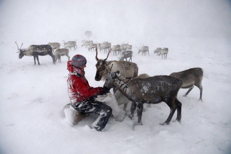 Eve Grayson, a reindeer herder of the Cairgorm Reindeer Herd, feeds a reindeer on December 23, 2013 in Aviemore, Scotland. (Jeff J Mitchell/Getty Images)