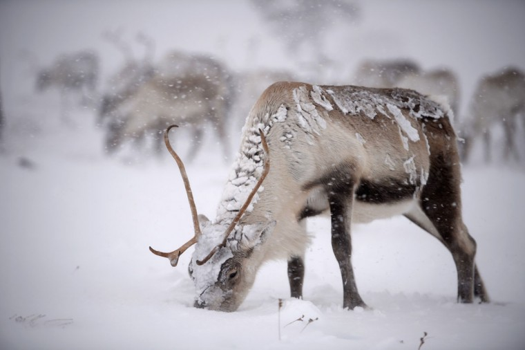 Reindeer from the Cairgorm Reindeer Herd walk through heavy snow on Dec. 23, 2013 in Aviemore, Scotland. The herd rages on 2,500 hectares of hill ground between 450 and 1,309 meters and stay above the tree line all year round regardless of the weather conditions. (Jeff J Mitchell/Getty Images)