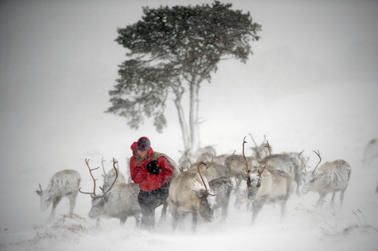 Eve Grayson, a reindeer herder of the Cairgorm Reindeer Herd, feeds the deer on December 23, 2013 in Aviemore, Scotland. (Jeff J Mitchell/Getty Images)