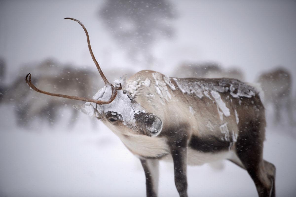 Scotland reindeer herd prepares for Christmas Day