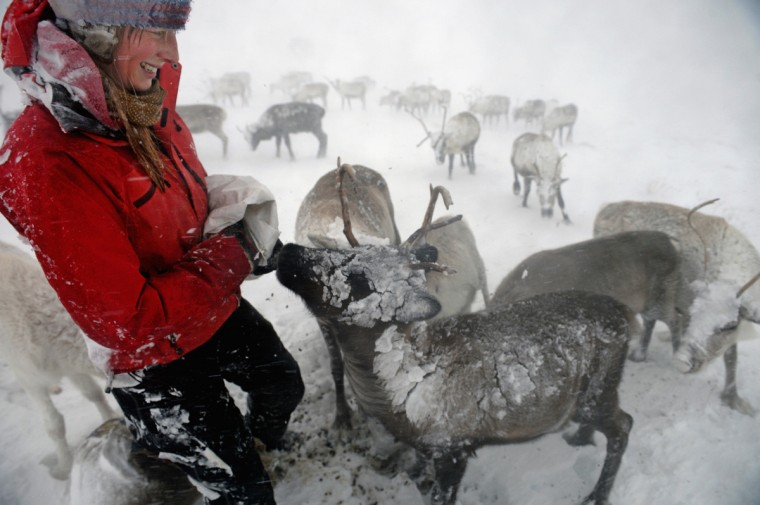 Eve Grayson, a Reindeer herder of the Cairngorm Reindeer Herd, feeds the deer on December 23, 2013 in Aviemore, Scotland. Reindeer were introduced to Scotland in 1952 by Swedish Sami reindeer herder, Mikel Utsi. Starting with just a few reindeer, the herd has now grown in numbers over the years and is currently at about 130 by controlling the breeding. The herd rages on 2,500 hectares of hill ground between 450 and 1,309 meters and stay above the tree line all year round regardless of the weather conditions. (Jeff J Mitchell/Getty Images)