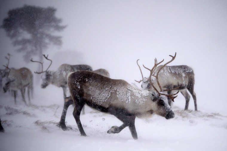 Reindeer from the Cairgorm Reindeer Herd walk through heavy snow on December 23, 2013 in Aviemore, Scotland. Reindeer were introduced to Scotland in 1952 by Swedish Sami reindeer herder, Mikel Utsi. (Jeff J Mitchell/Getty Images)