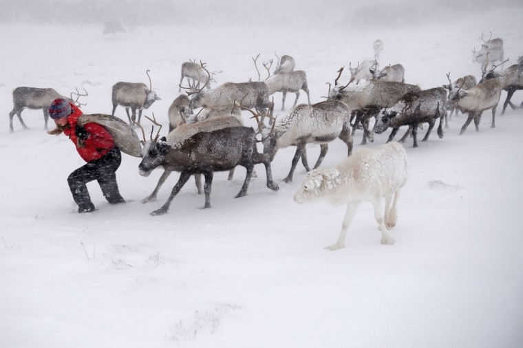 Eve Grayson, a reindeer herder of the Cairngorm Reindeer Herd, feeds the deer on December 23, 2013 in Aviemore, Scotland. (Jeff J Mitchell/Getty Images)