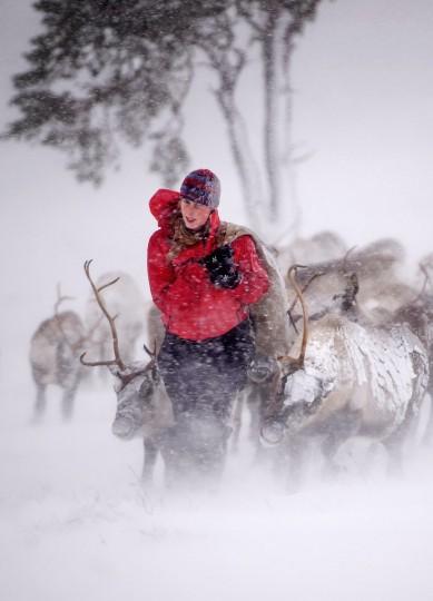 Eve Grayson, a reindeer herder of the Cairngorm Reindeer Herd, feeds the deer on December 23, 2013 in Aviemore, Scotland. (Jeff J Mitchell/Getty Images)