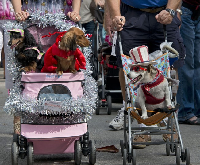 "This picture provided by the Florida Keys News Bureau shows costumed canines being pushed in Key West, Florida, on December 31, 2013 during the annual Key West Dachshund Walk. About 200 dogs participated in the New Year's Eve procession that is a prelude to four quirky ""drops"" in Key West inspired by the ball drop in New York City's Times Square. (Andy Newman/Florida Keys News Bureau)"
