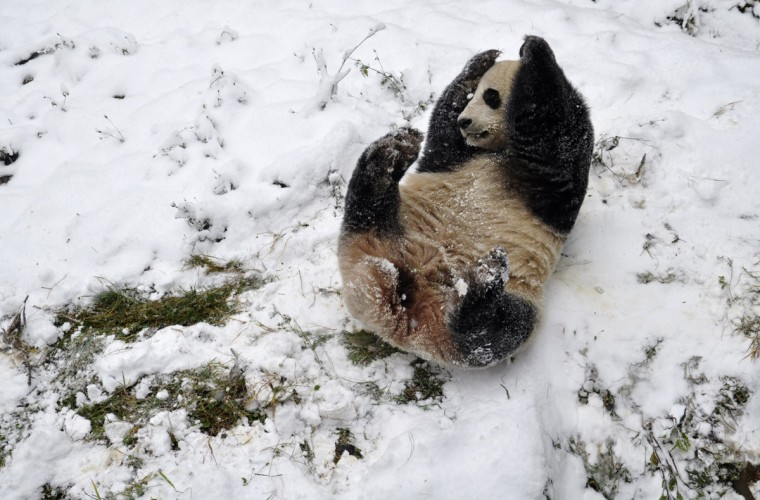 A giant panda plays in the snow at a zoo in Kunming, Yunnan province, December 16, 2013. Picture taken December 16, 2013. (China Daily/Reuters)