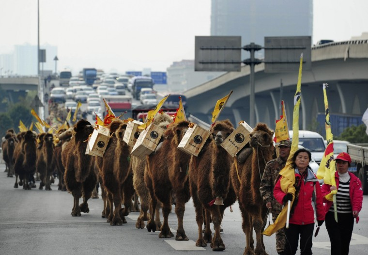 About 100 camels carrying boxes of tea walk on a highway during an event re-enacting the ancient tea trade journey from China to Europe in Changsha, Hunan province. According to local media, the tea caravan that set out from the Inner Mongolia autonomous region this April would likely change their mode of transport into cars later to travel through Siberia and complete their journey in Paris next December. (China Daily/Reuters)