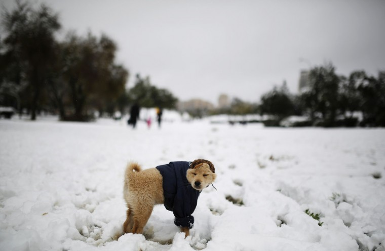 A dog stands in the snow at a park in Jerusalem December 12, 2013. Snow fell in Jerusalem and parts of the occupied West Bank where schools and offices were widely closed and public transport was paused. (REUTERS/Amir Cohen)