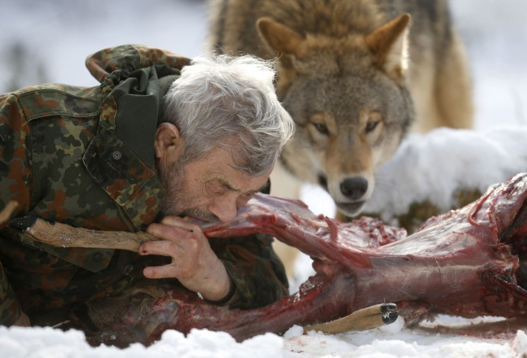 Wolf researcher Werner Freund bites into a deer cadaver next to a Mongolian wolf inside an enclosure at Wolfspark Werner Freund, in Merzig in the German province of Saarland, January 24, 2013. (Lisi Niesner/Reuters)