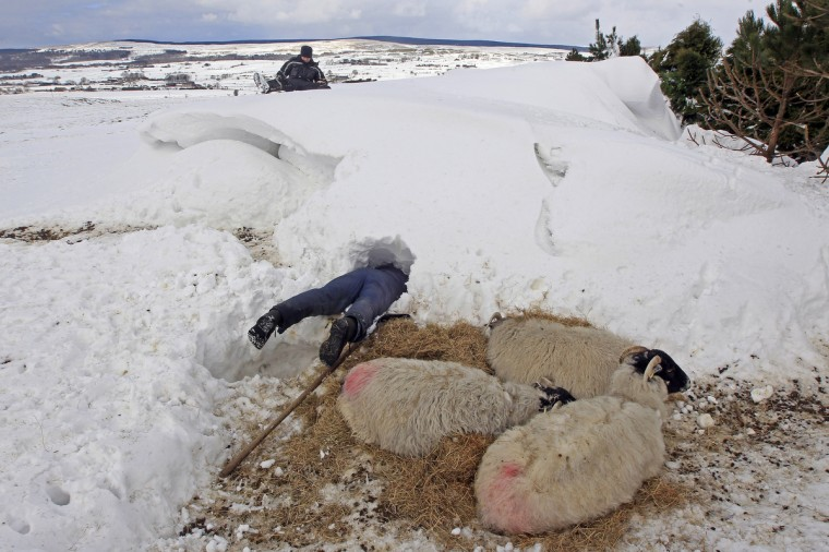 Farmer Donald O'Reilly searches for sheep or lambs trapped in a snow drift near weakened animals that had just been rescued, in the Aughafatten area of County Antrim, Northern Ireland March 26, 2013. At least 140,000 homes and businesses in Northern Ireland were left without power over the weekend following heavy snowfall, causing snowdrifts of up to 5 metres (18 feet). (Cathal McNaughton/Reuters)
