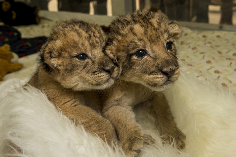 A pair of 10-day-old sibling lion cubs are seen in their play area at the San Diego Zoo and Safari Park animal care center in San Diego, California, in this December 16, 2013 handout provided by the San Diego Zoo and Safari Park. The brother and sister, whose mother Oshana was not giving them the attention they need to thrive, are receiving bottles of formula every two hours from animal care staff, according to the zoo. (Ken Bohn/San Diego Zoo/Handout via Reuters)