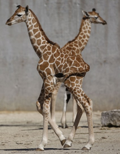 Nine-day-old female Rothschild Giraffe Hera (front) walks past 2-day-old male Hermes in their enclosure at the Knies Kinderzoo in Rapperswil, Switzerland on May 7, 2009. (REUTERS / Christian Hartmann)