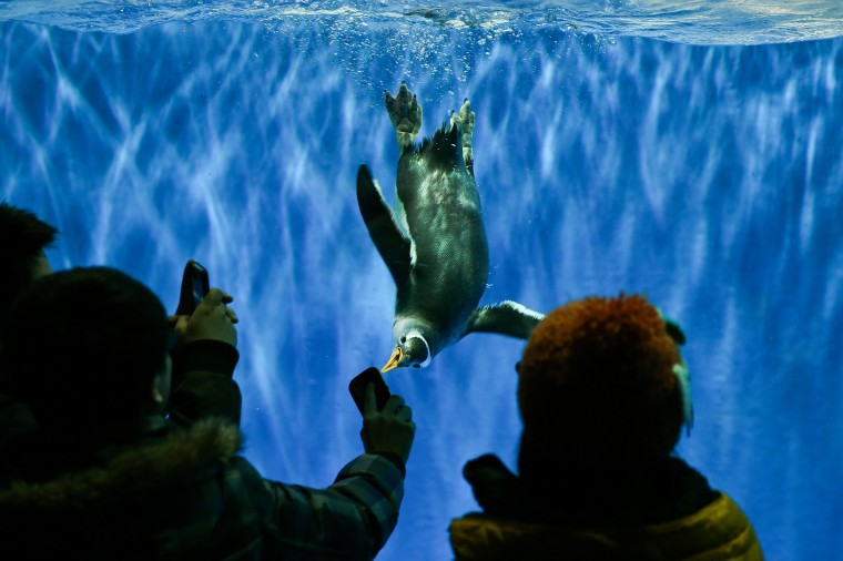 Visitors use mobile phones to take a picture of a penguin swimming in the tank at Harbin Pole Aquarium on January 7, 2014 in Harbin, China. The Aquarium is one of the tourist highlights of Harbin, attracting domestic and foreign tourists each year. (Lintao Zhang/Getty Images)