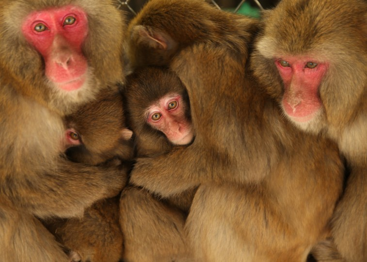 Japanese macaque monkeys huddle together in a group to protect themselves against the cold weather at Awajishima Monkey Center in Sumoto, Hyogo Prefecture, Japan. Low temperatures has hit across Japan with more heavy snowfall in February. (Buddhika Weerasinghe/Getty Images)
