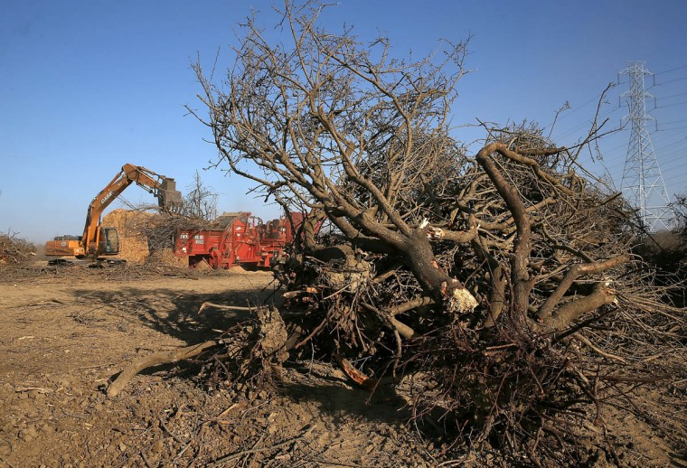 Uprooted almond trees lay on the ground before being shredded at Baker Farming on February 25, 2014 in Firebaugh, California. Almond farmer Barry Baker of Baker Farming had 1,000 acres, 20 percent, of his almond trees removed because he doesn't have access to enough water to keep them watered as the California drought continues. The U.S. Bureau of Reclamation officials announced this past Friday that they will not be providing Central Valley farmers with any water from the federally run system of reservoirs and canals fed by mountain runoff. (Justin Sullivan/Getty Images)