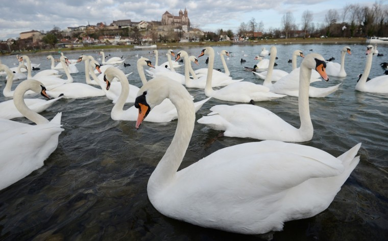 Swans swimming in the Rhine river in front of the cathedral in Breisach, Germany. (Patrick Seeger/Getty Images)
