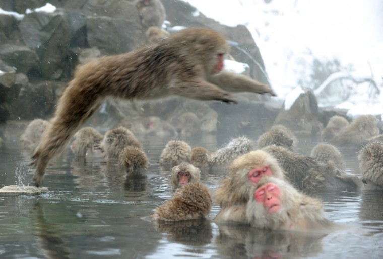 """Japanese macaque monkeys, known as """"snow monkeys,"""" take an open-air hot spring bath while snowflakes fall at the Jigokudani (death valley) Monkey Park in the town of Yamanouchi, Nagano prefecture on January 19, 2014. Some 160 of the monkeys inhabit the area and are a popular tourist draw. (Toshifumi Kitamura/Getty Images)"""