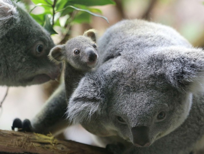 A six months old female baby koala and her parents are pictured at the zoo in Duisburg, western Germany. The baby koala was taken out of its mother's pouch to be weighed - it came in at 350 grams. (Roland Weihrauch/Getty Images)