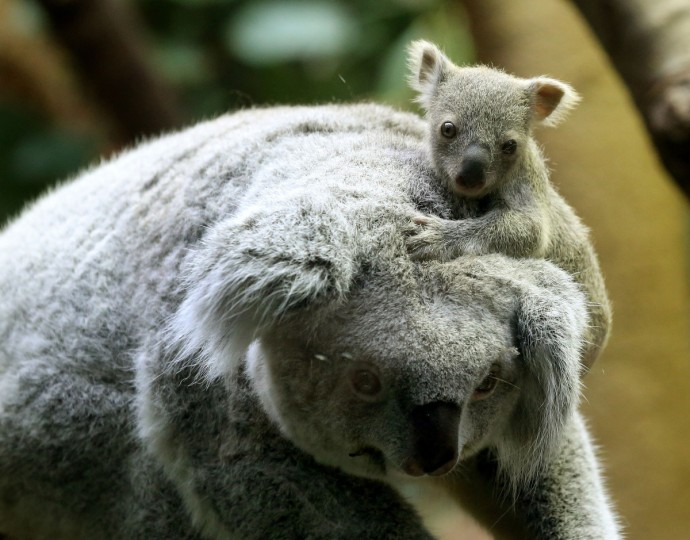 A circa six months old female baby koala sits on her mother's head at the zoo in Duisburg, western Germany. The baby koala was taken out of its mother's pouch to be weighed - it came in at 350 grams. (Roland Weihrauch/Getty Images)