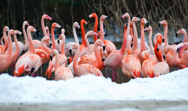 Flamingos stand in a pond of their snow-covered enclosure at the zoo in Hanover, central Germany. (Christoph Schmidt/Getty Images)