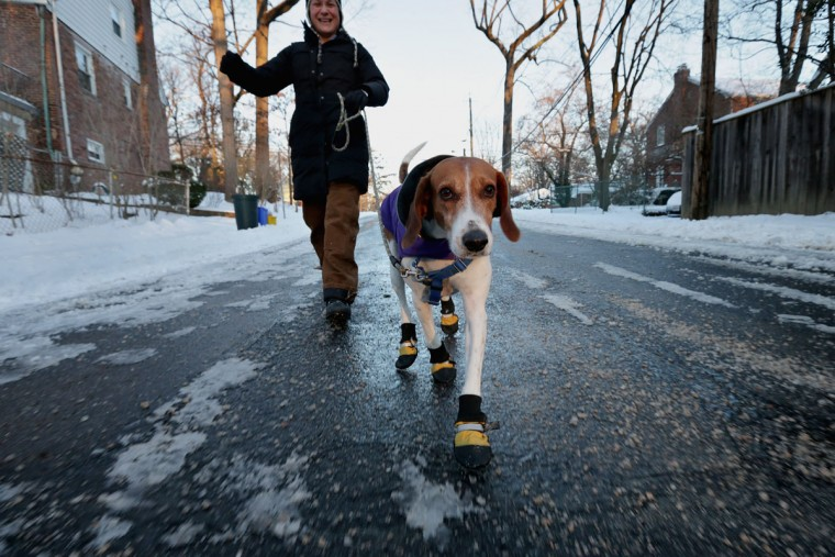 English foxhound 'Braxton' wears boots to protect his paws from ice melting chemicals during his morning walk as the temperature hovers in the single-digits Fahrenheit January 22, 2014 in Washington, DC. After four inches of snow fell on some places in the capital area, the federal government delayed the start of the work day by two hours as most schools remained closed. (Photo by Chip Somodevilla/Getty Images)