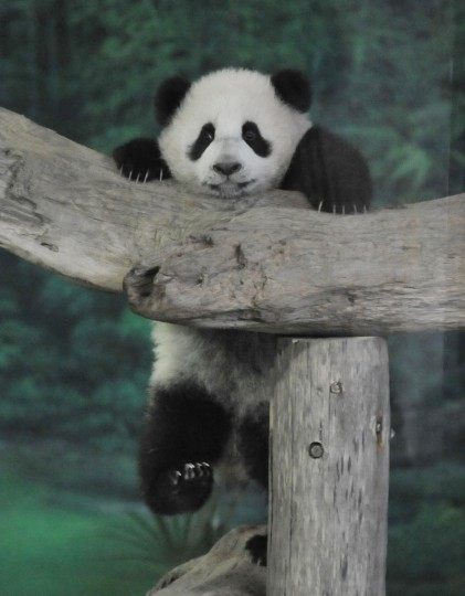 Yuan Zai , the first Taiwan-born baby panda, climbs inside its enclosure at the Taipei City Zoo on January 6, 2014. Yuan Zai, who weighed 180 grams (6.35 ounces) at birth, now weighs about 14 kilos (31 lbs) and make made her anticipated public debut as she turned six months old. (Mandy Cheng/AFP/Getty Images)