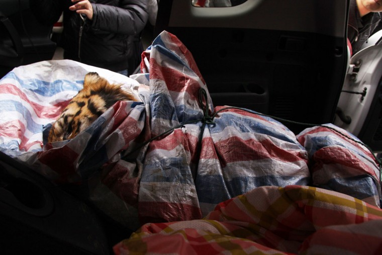 This picture taken on January 8, 2014 shows a dead Siberian tiger wrapped in a plastic bag lying in a SUV car in Wenzhou, east China's Zhejiang province. Police in China have detained a former chef over the death of a rare Siberian tiger discovered in the back of an SUV, a report said on January 9. (Dai Wei/AFP/Getty Images)