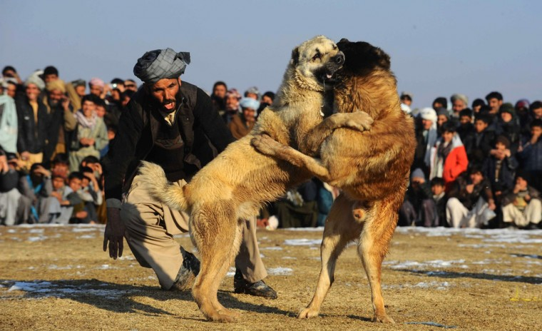 An Afghan man screams at his dog during a dog fight on the outskirts of Herat on January 9, 2014. Over a third of Afghans are living in abject poverty, as those in power are more concerned about addressing their vested interests rather than the basic needs of the population, a UN report said. (Aref Karimi/AFP/Getty Images)