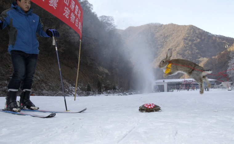 This picture taken on January 12, 2014 shows a pet rabbit and a tortoise competing in a skiing competition in Sanmenxia, north China's Henan province. A tortoise beat a rabbit in a skiing competition held for pets and their owners in northern China, a report said on January 14. Cats and dogs faced off against a menagerie including a rooster and a yellow duck in a race to the finish line on snowy slopes in China's Hebei province, the state-run China News Service said. (CHINA OUT AFP PHOTOS/AFP/Getty Images)