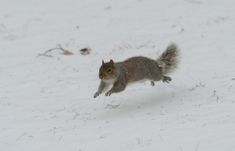 A squirrel runs during a snow storm in New York, January 22, 2014. In New York, a storm alert was issue for noon (1700 GMT) Tuesday to 6:00 am (1100 GMT) Wednesday with as much as a foot (30 centimeters) forecast for the metropolitan region. (Emmanuel Dunand/AFP/Getty Images)