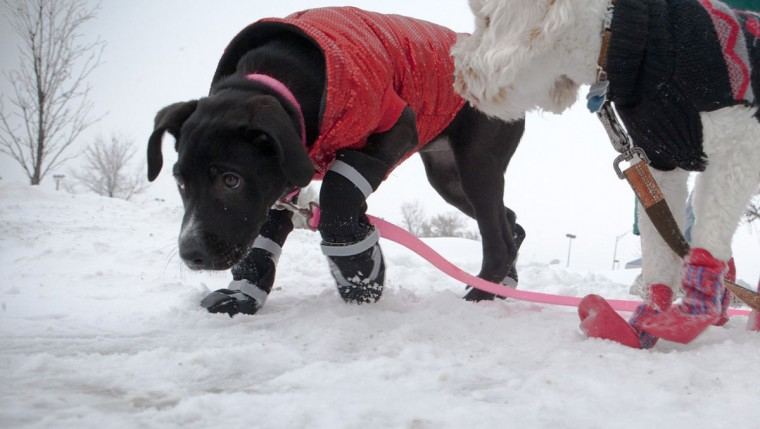 Winnie, left, a 3-month-old, female Great Dane/Sheepdog mix; and Tucker, a 1-year-old male, Cockapoo; model winter coats and booties from Petco. (Eric Hylden/Grand Forks Herald)
