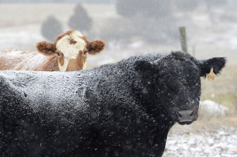 Snow falls on cattle at Todd Galliher's farm in Harmony, N.C., on Tuesday, Jan. 28, 2014. (John D. Simmons/Charlotte Observer/MCT)