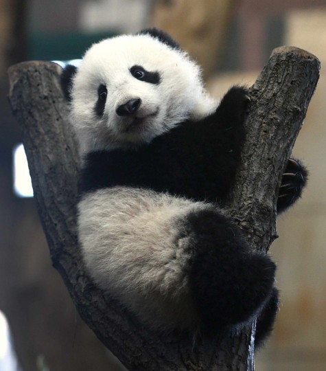 Giant Panda cub Fu Bao, meaning lucky leopard, sits on a tree stump in its enclosure at the zoo in Vienna January 10, 2014. It is the Panda's second public appearance outside of its tree cave since it's birth on August 14, 2013. (REUTERS/Heinz-Peter Bader)