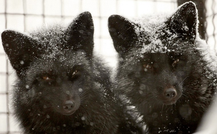 Black foxes covered with snow are seen after heavy snowfall in a zoo in Minsk. (Vasily Fedosenko/Reuters)