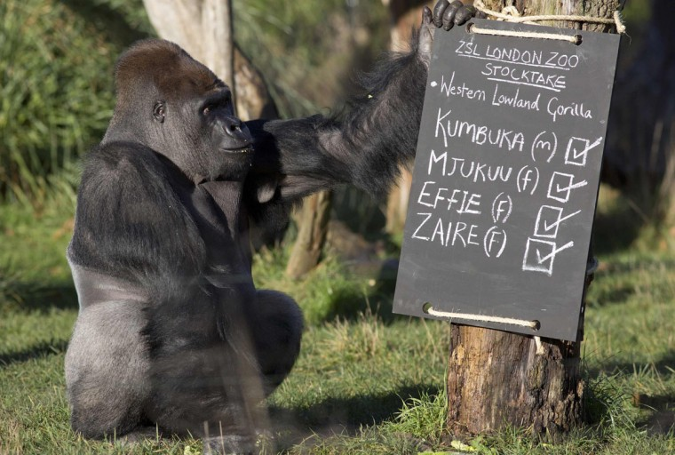 A western lowland gorilla named Kumbuka is seen near a posed sign during a photocall at London Zoo January 2, 2014. The annual stocktake is a compulsory count, with the results data shared with zoos around the world and used to manage the international breeding programmes for endangered animals. (REUTERS/Neil Hall)