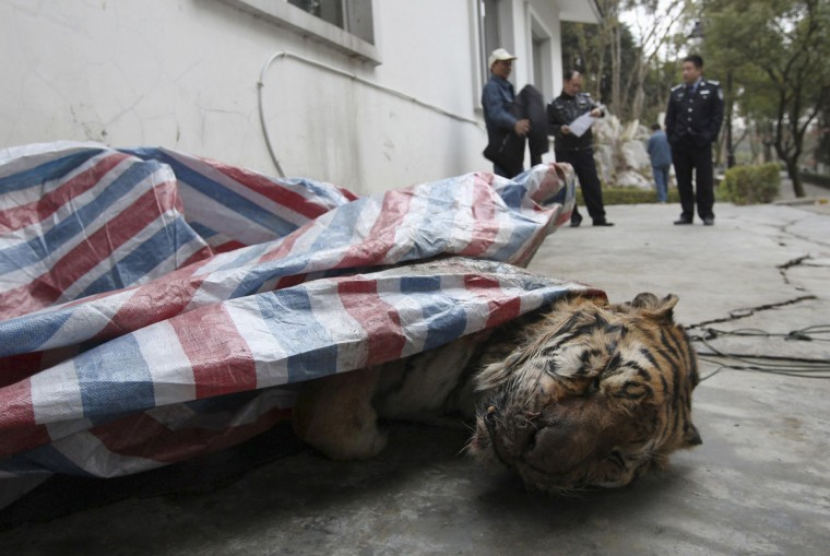 A dead tiger is found during a police action in Wenzhou, Zhejiang province, January 8, 2014. According to local media, two men carrying a sack with the tiger raised police's suspicion as they moved the sack into a van. Initial examination shown it was an adult Siberian tiger. Picture taken January 8, 2014. (REUTERS/China Daily)