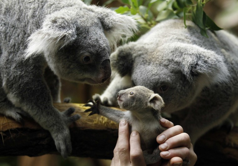 A zookeeper holds a koala joey towards its mother Eola (R) after a weighing procedure at the zoo in the western German city of Duisburg January 22, 2014. The Koala baby, which was born on July 2, 2013, weighs 350 grams, has yet to be named. (Ina Fassbender/Reuters)