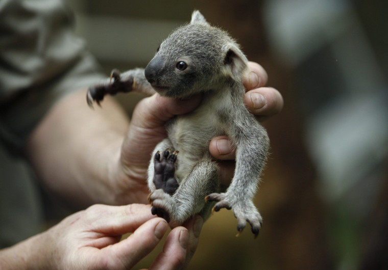 A zookeeper holds a koala joey during a weighing procedure at the zoo in the western German city of Duisburg January 22, 2014. The Koala baby, which was born on July 2, 2013, weighs 350 grams, has yet to be named. (Ina Fassbender/Reuters)