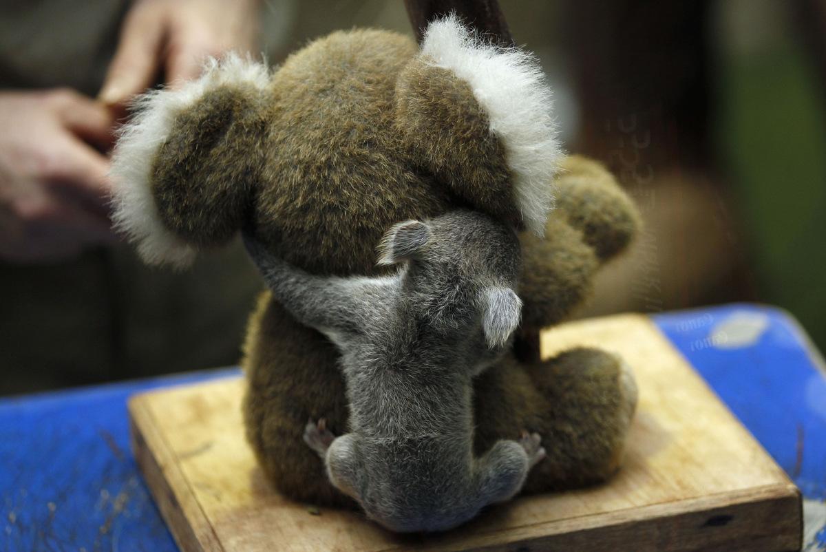 Baby koala - Pictures of koalas and baby koalas ...